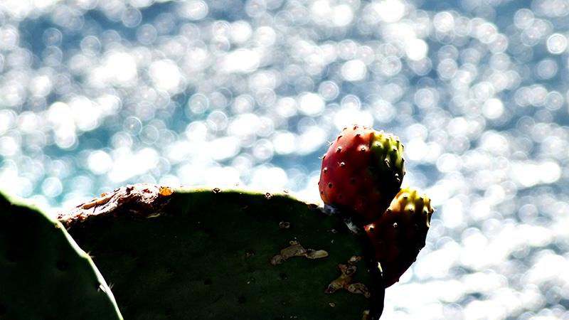 Kaktusfeige am lebenden Objekt