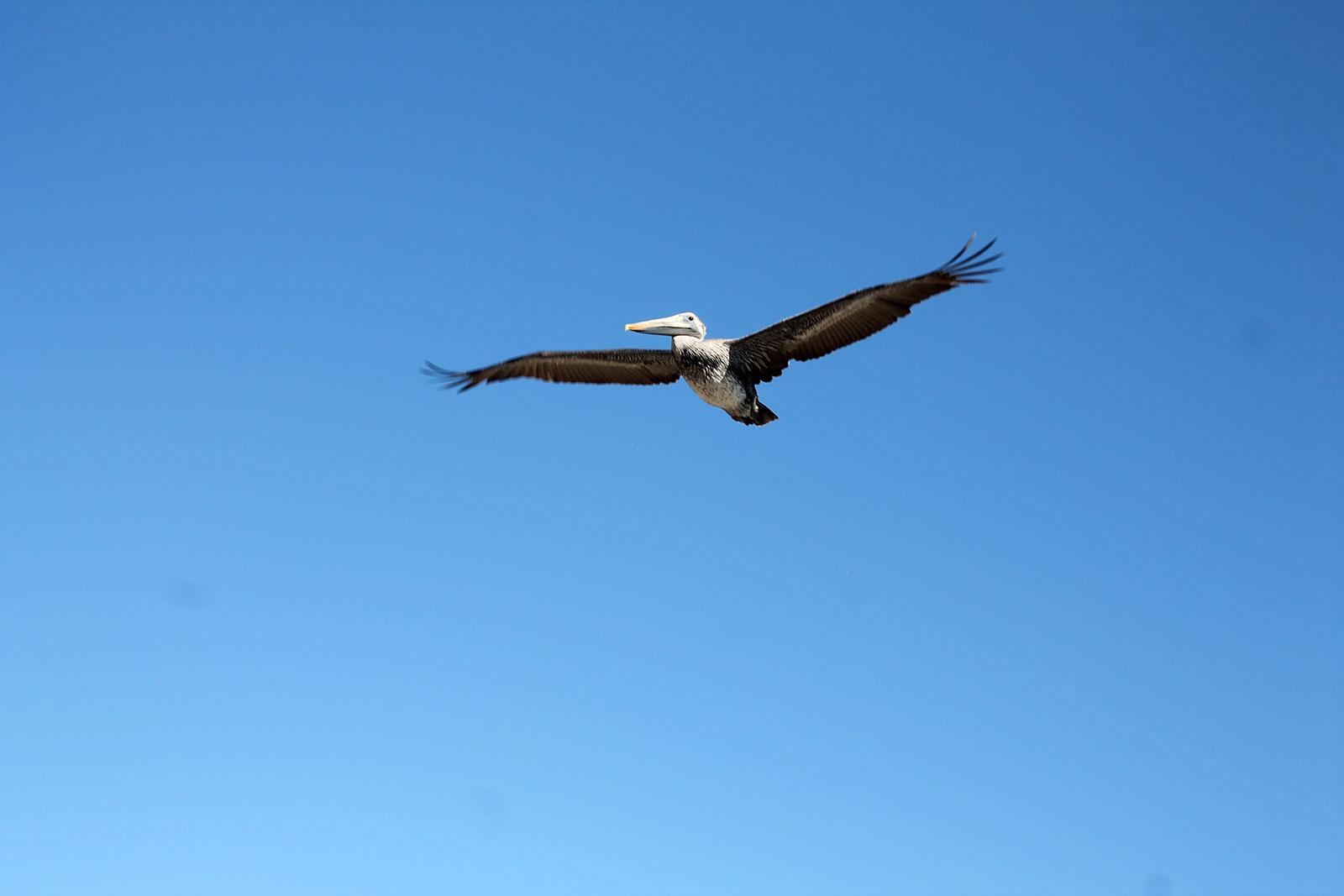 Pelikan am Strand von Ventura