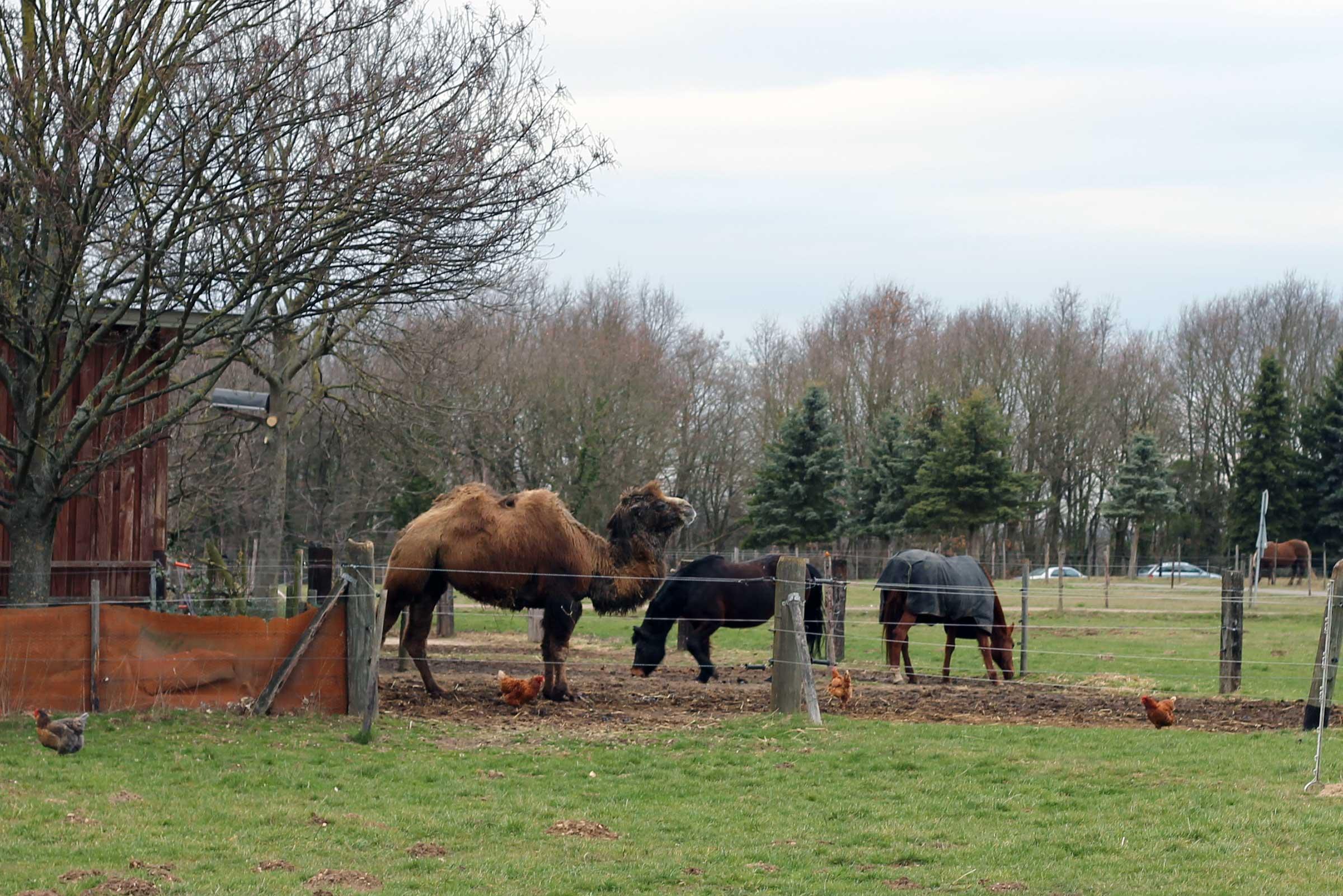 Ein Kamel mit zwei Pferden auf einer Koppel