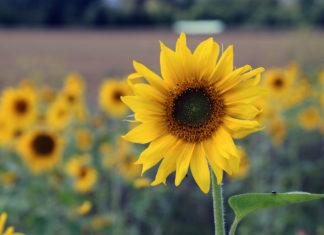 Eine Sonnenblume, im Hintergrund weitere