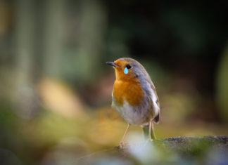 Ein kleiner Vogel mit einer reinretuschierten Träne im Auge.