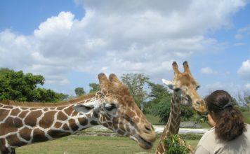 Zwei Giraffen, eine frisst einer Frau aus der Hand.