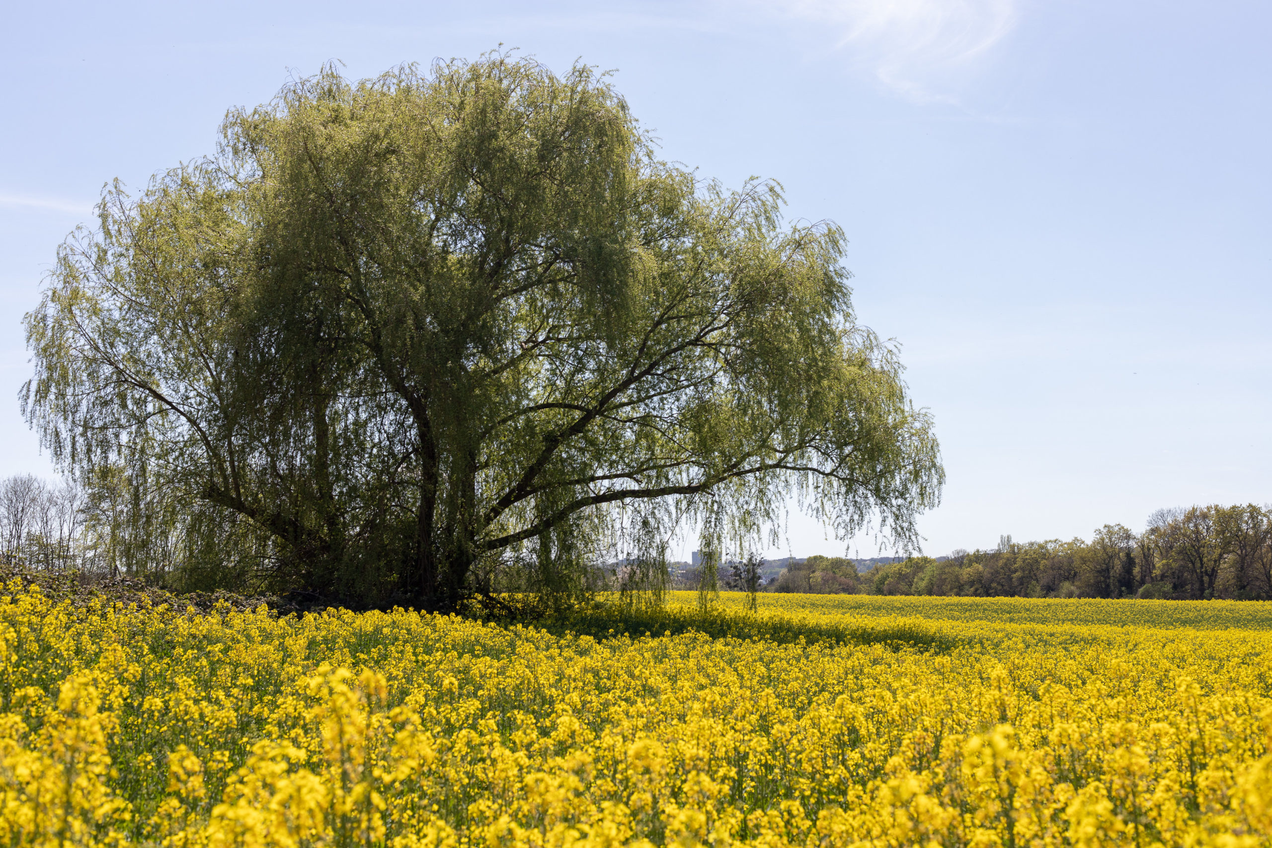 Ein gelbes Rapsfeld, mitten darin eine sehr große Trauerweide
