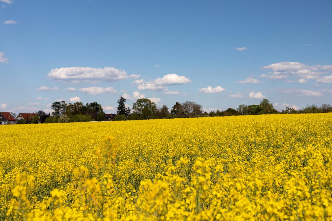 Ein gelbes, leicht schräges Rapsfeld vor einem blauen Himmel mit ein paar Wölkchen