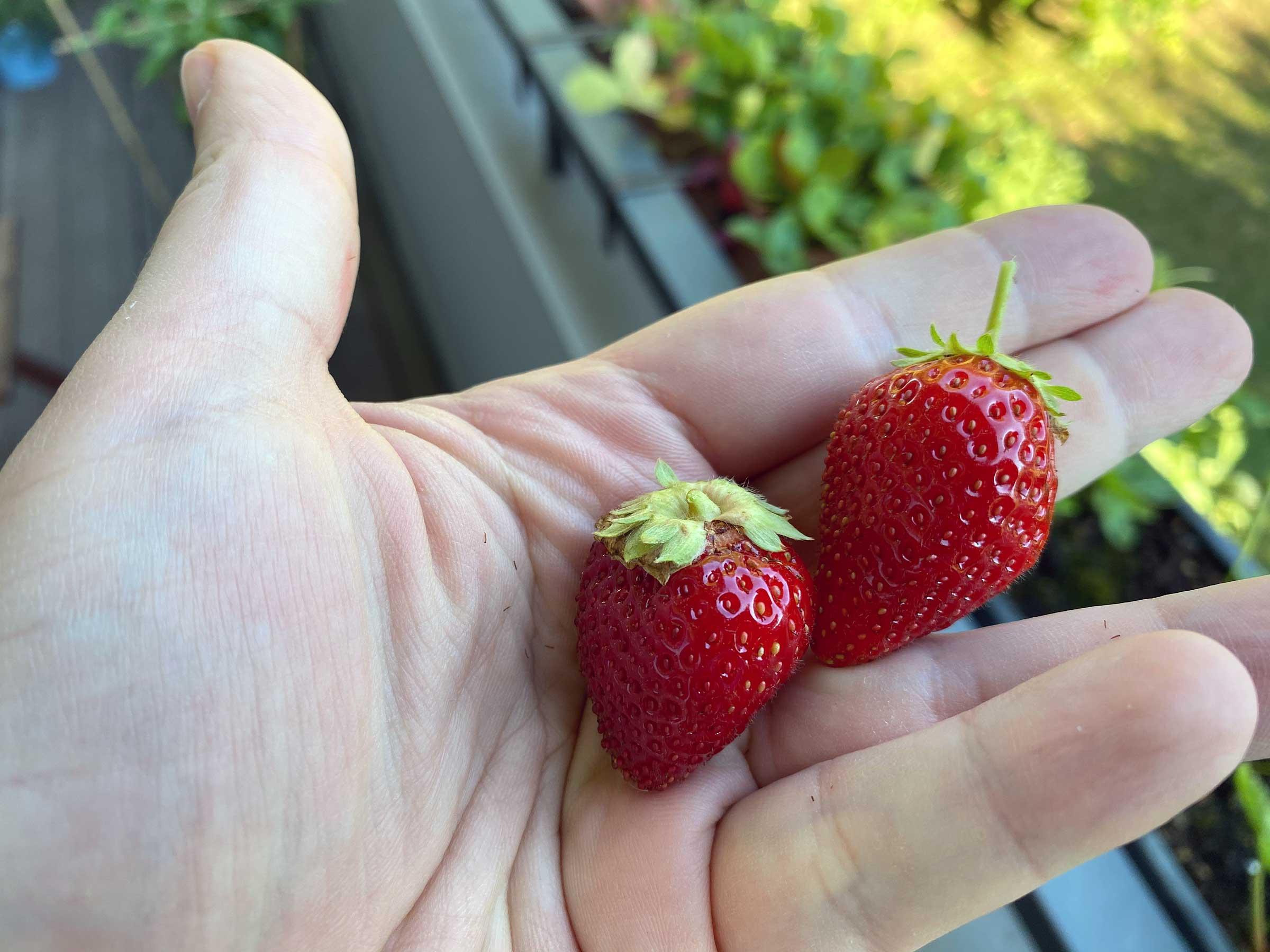 Zwei kleinere Erdbeeren in meiner Hand.