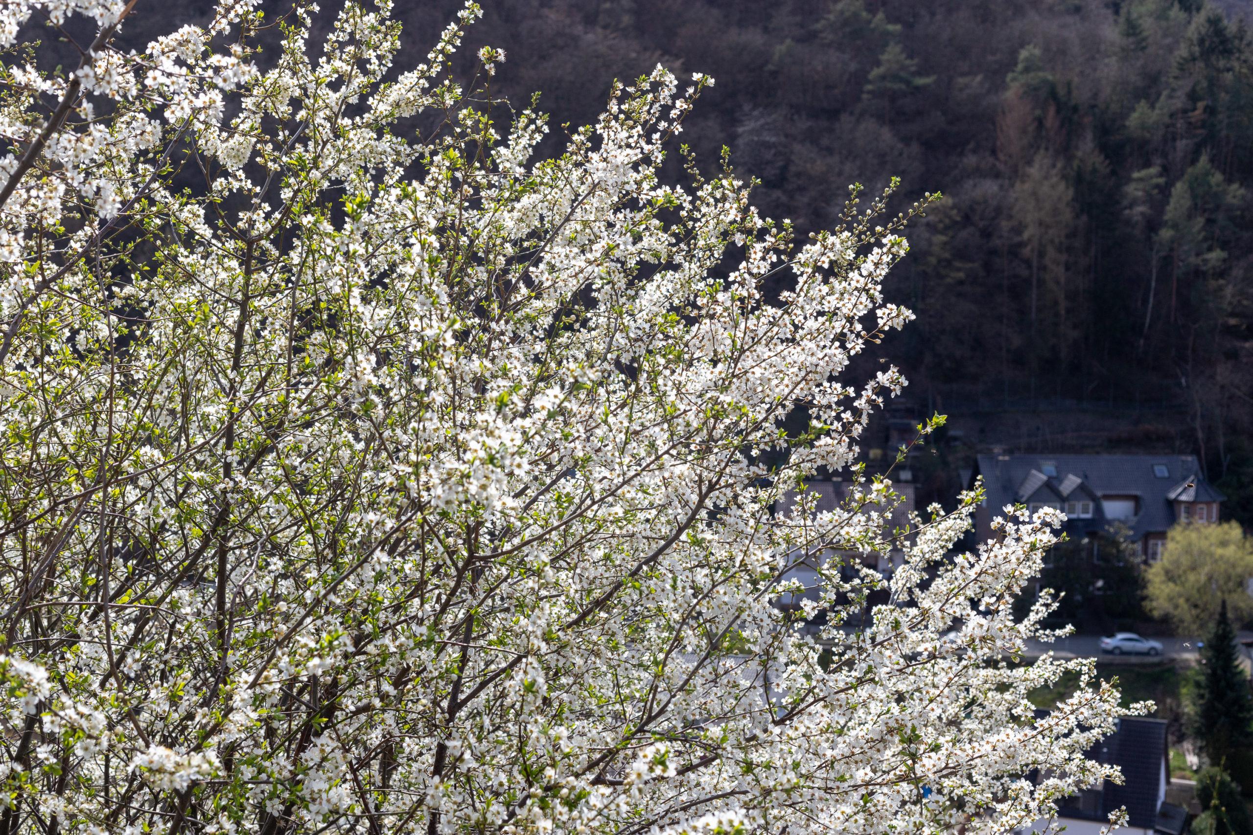Kirschblüten (weiß)
