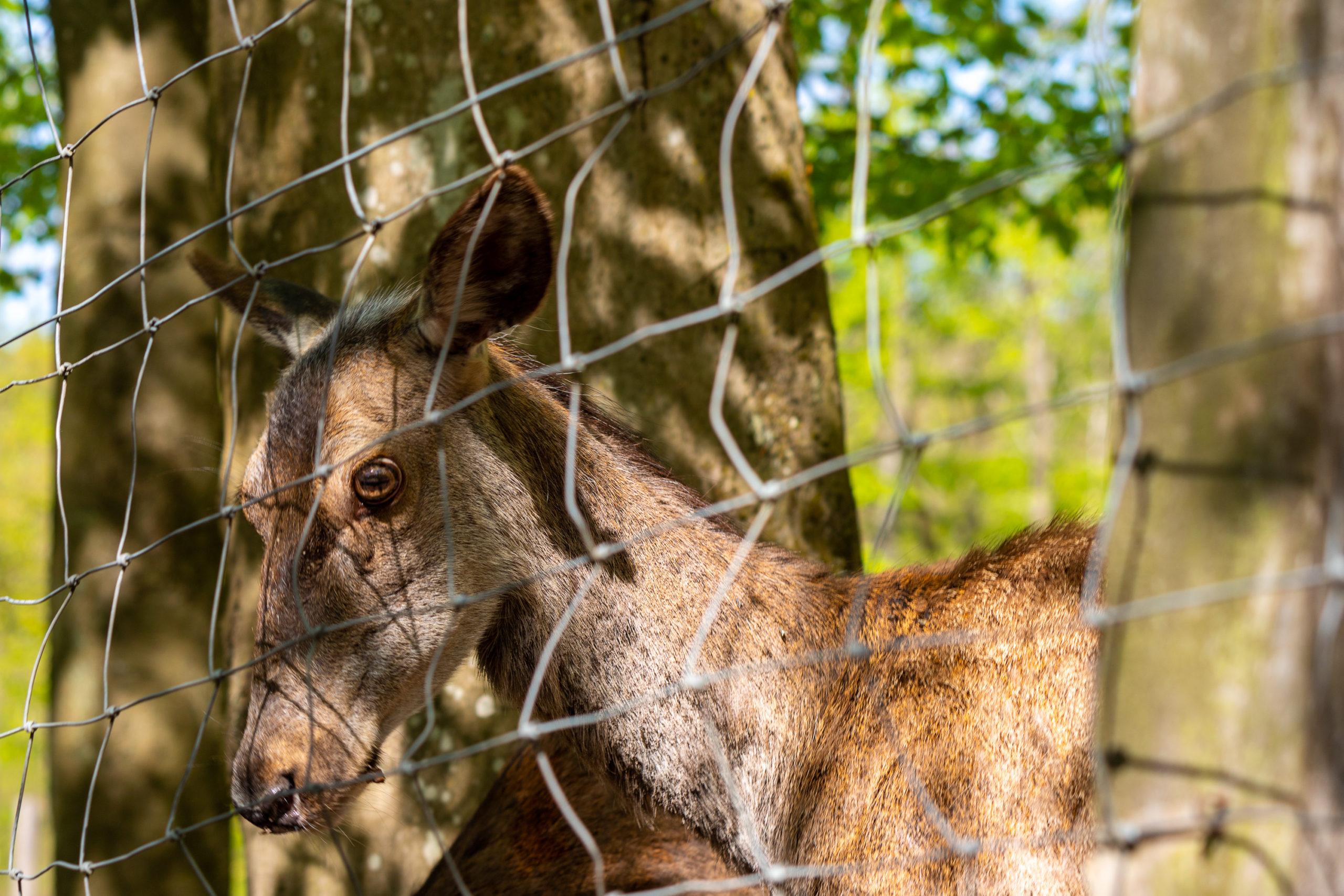 Traurig aussehendes Reh hinter einem Zaun.