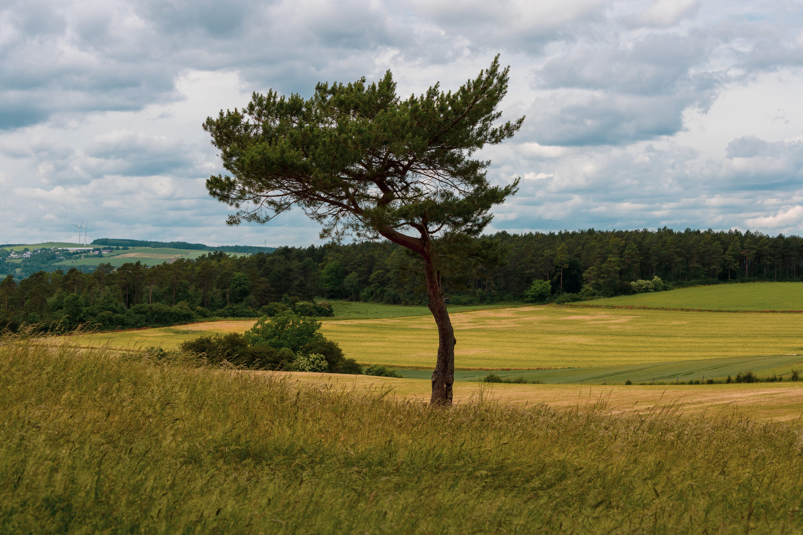 Ein etwas verweht aussehender einsamer Baum auf Wiese mit angrenzendem Feld. Weiter weg ist Wald und hügelige Landschaft zu erkennen.