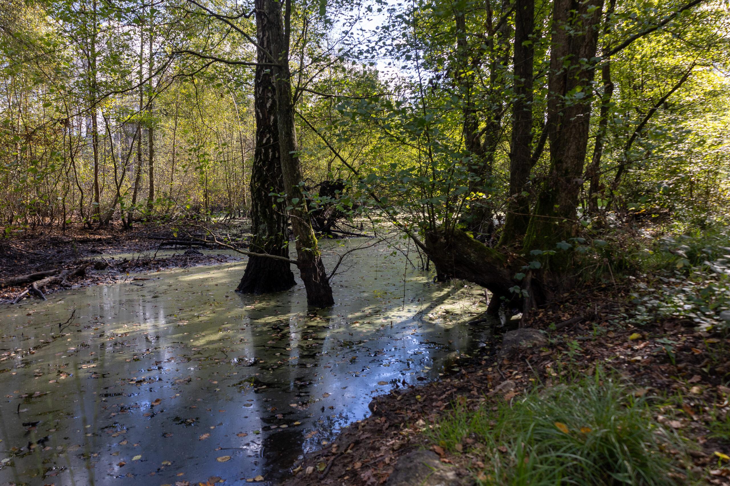 Ein feuchtes Sumpfgebiet, Bäume stehen im Wasser, die Sonne scheint.